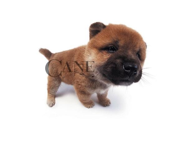 子犬の画像 p1_26